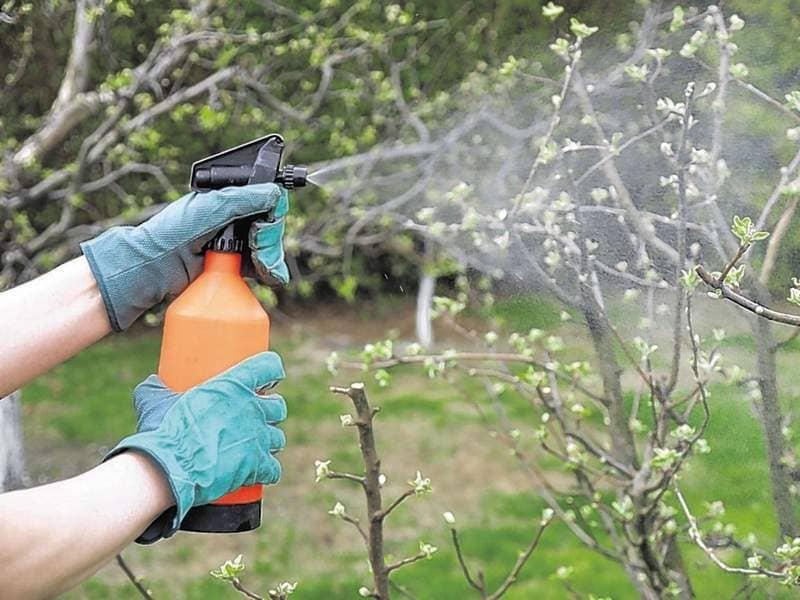 Для профилактики растение опрыскивают раствором мочевины 5 раз за сезон