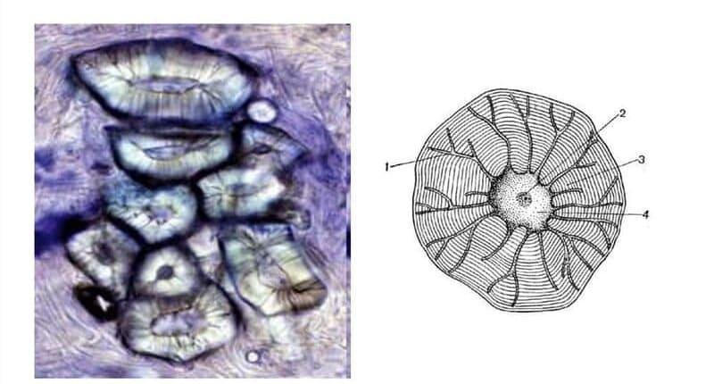 Каменистые клетки плода груши