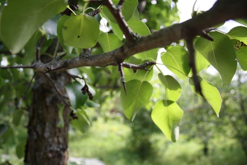 Шипы на груше чаще всего появляются после сильного повреждения дерева