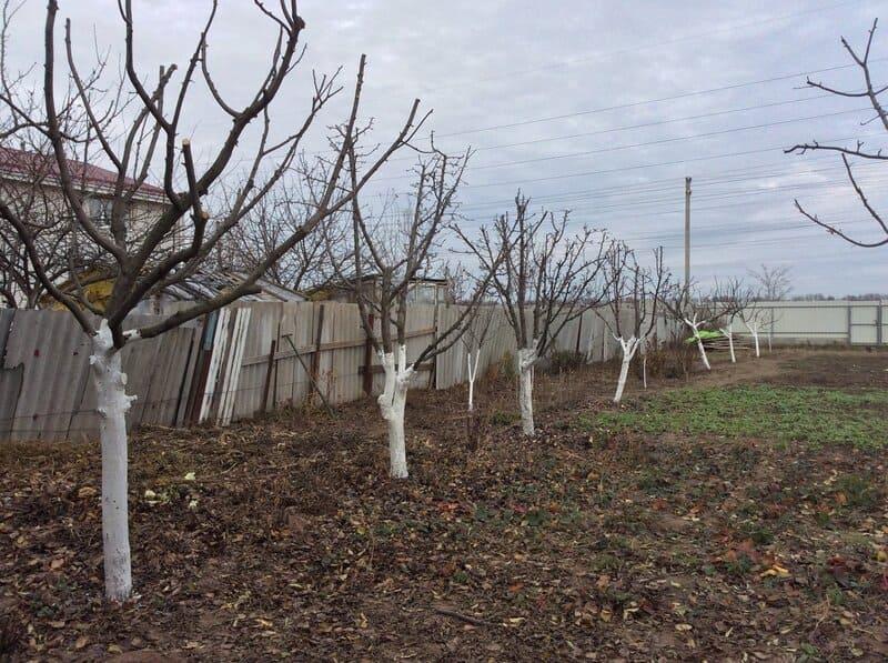 Правильное укрытие груши обеспечит высокий урожай в следующем сезоне