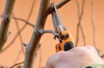 Обрезка колоновидной груши осенью