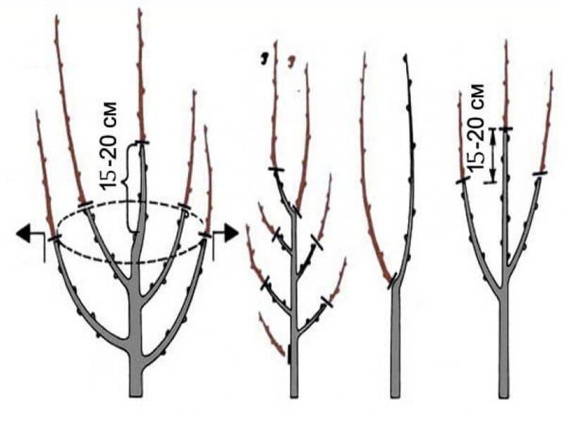 Схема формирования груши у молодого дерева