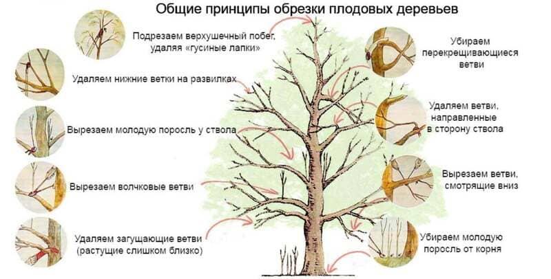 Общие принципы обрезки груши
