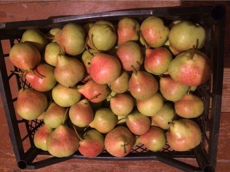 У груши отличное качество созревших плодов и высокая урожайность