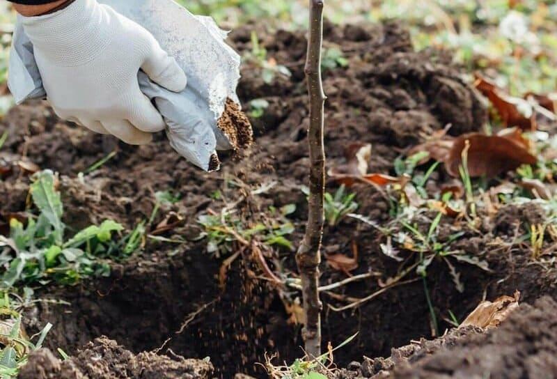 Высаживать саженцы этой плодовой культуры можно как весной, так и осенью