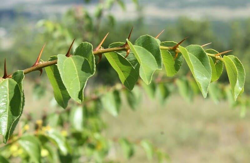 Если шипы появились на груше, то в ближайшие 2-3 года дерево станет дичкой