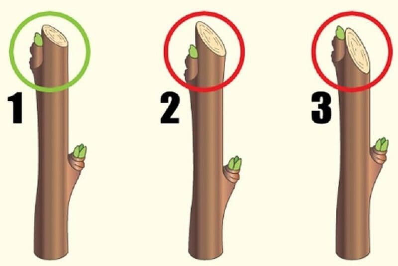 Схема правильной и неправильной обрезки на почку