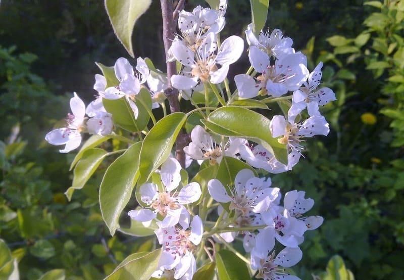 Сорт груши Павловская относится к самоопыляемым растениям