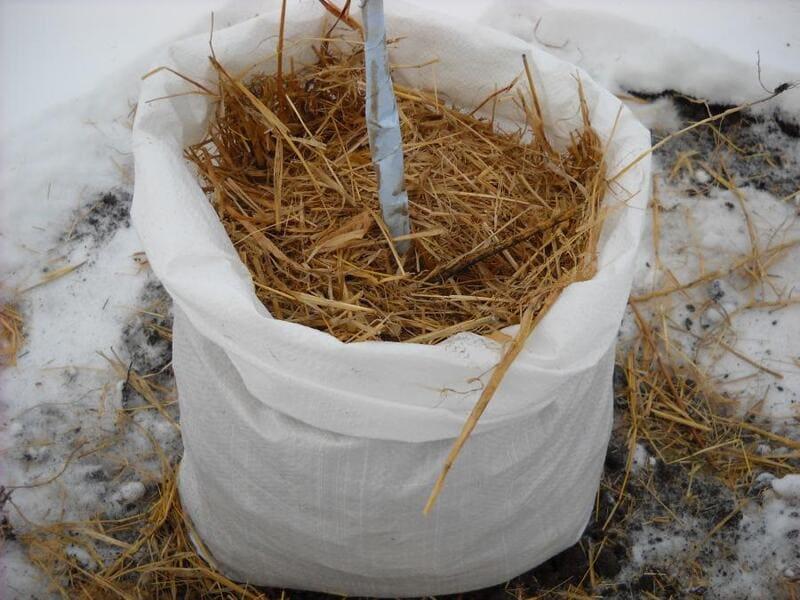 Приствольный круг на зиму укрывают слоем соломы или опилок