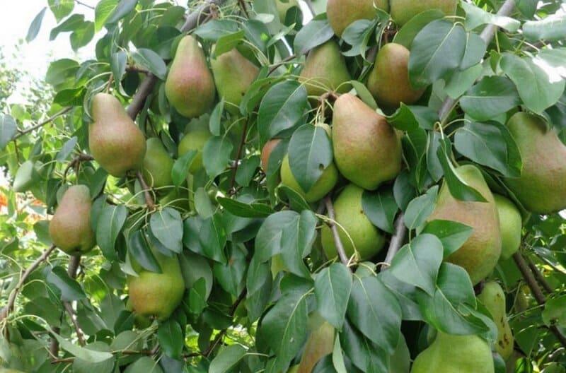 Для Сибири сорта груш должны быть с высоким показателем урожайности