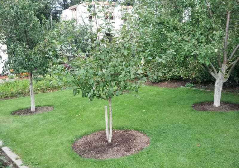 Одним из лучших соседей для груши на участке будет яблоня