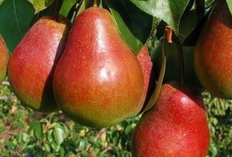 У этого сорта груш высокое стабильное плодоношение каждый сезон