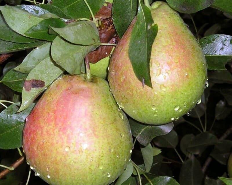 Этот сорт груши по срокам созревания плодов относят к позднелетним