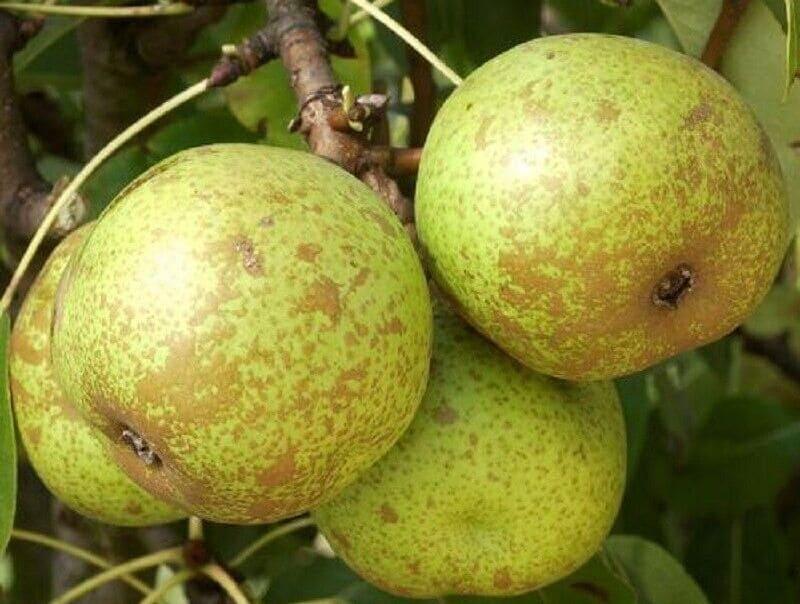 Груша Бергамот характеризуется небольшим сроком хранения плодов