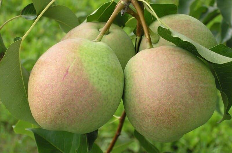 Начало плодоношения приходится на пятый год после посадки