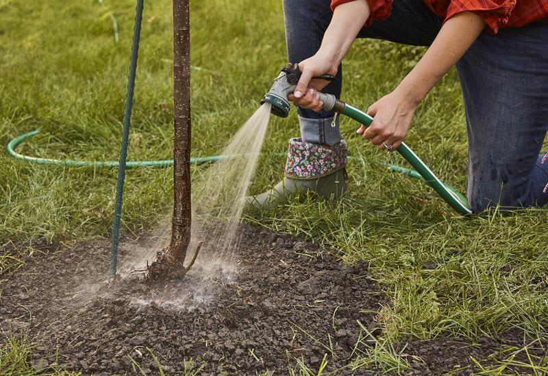 Для молодых деревьев предпочтительнее использовать полив дождеванием