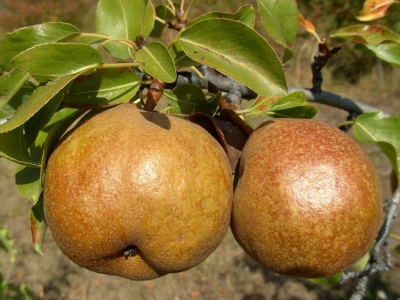 Дерево-долгожитель может плодоносить даже в возрасте 60 лет