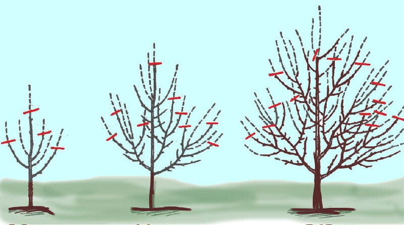 Схема формирования кроны у груши весной