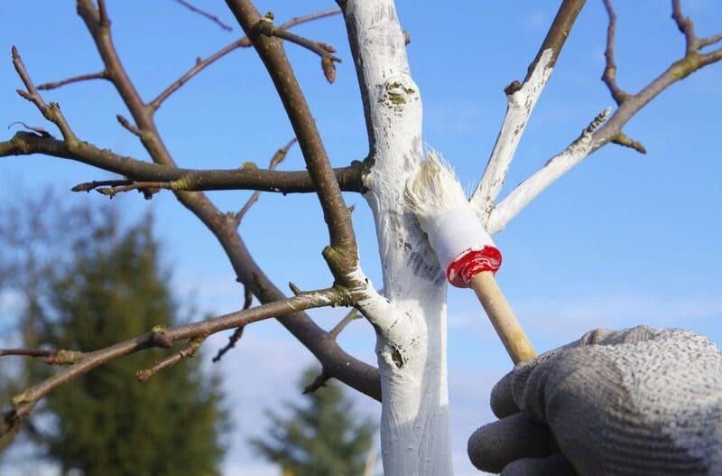 Каждую весну стволы груши необходимо белить