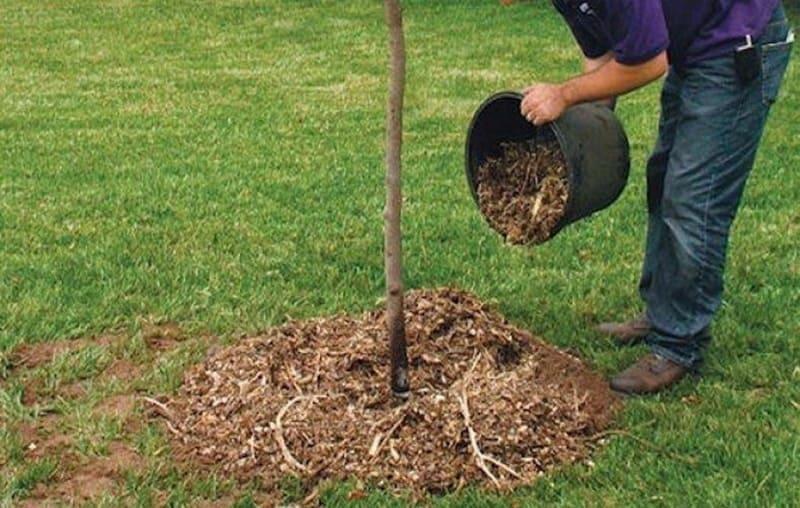 Мульчирование защитит от потери влаги, а также замедлит рост сорной травы