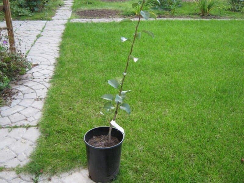 Предпочтение рекомендуется отдавать однолетним или двулетним деревьям