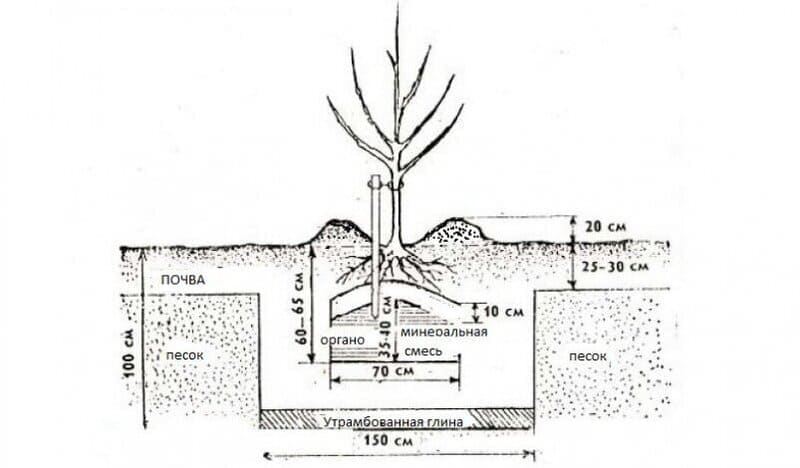 Схема посадки саженца груши Бергамот