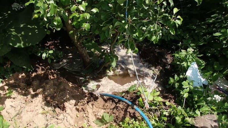С момента цветения деревьям обеспечивают полив, если не хватает естественных осадков