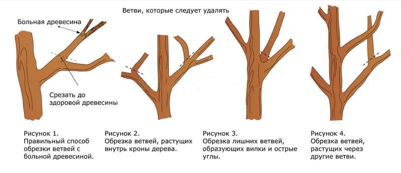 Схема омолаживающей обрезки груши