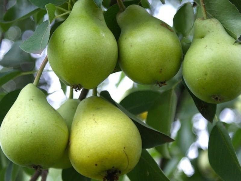 Плодоношение наступает только на 7-8 году жизни
