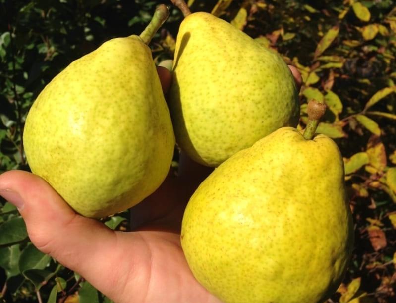 Чтобы фрукты дольше сохранялись, желательно срывать их на стадии технической зрелости