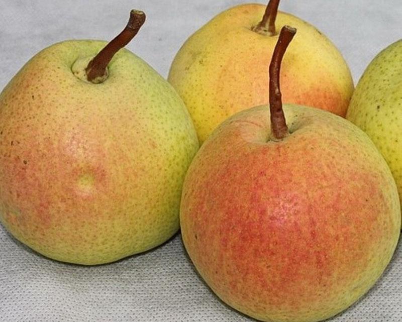 Данный сорт груши ценится за крупный размер спелых плодов