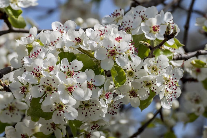 Соцветий формируется очень много, они покрывают практически всю крону