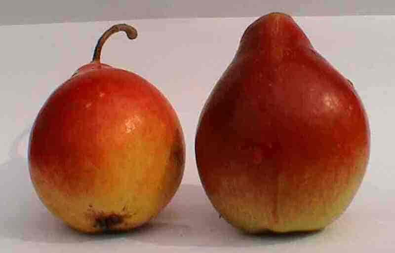 У груши хороший внешний вид, вкусовые качества и приятный аромат