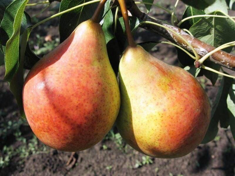 Бере Жиффар свойственна высокая урожайность