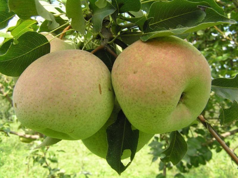 Скороплодность у груши средняя – первые урожаи обычно собирают на 4 год