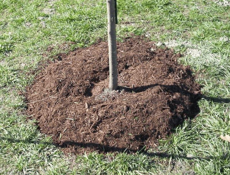 На зиму на приствольный круг насыпают слой мульчи высотой около 10 см