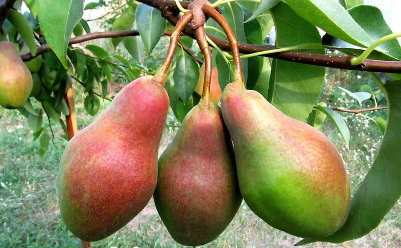 Плодоношение начинается на 4-5 год