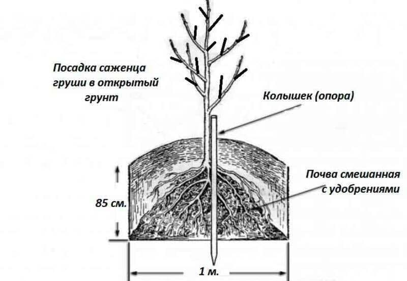 Общая схема посадки саженца груши