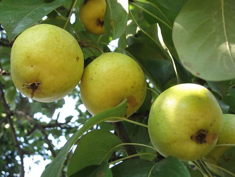 Бергамот осенний плодоносить начинает через 7-9 лет после посадки