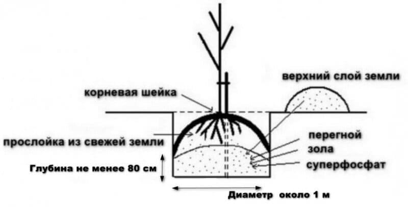 Схема посадки саженца груши Большая Летняя