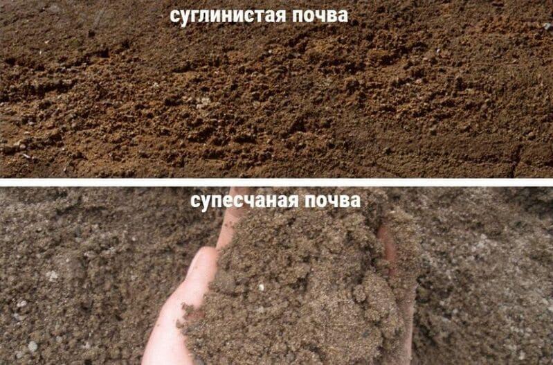 Лучшие виды грунтов для выращивания этого сорта – супесчаные или суглинистые