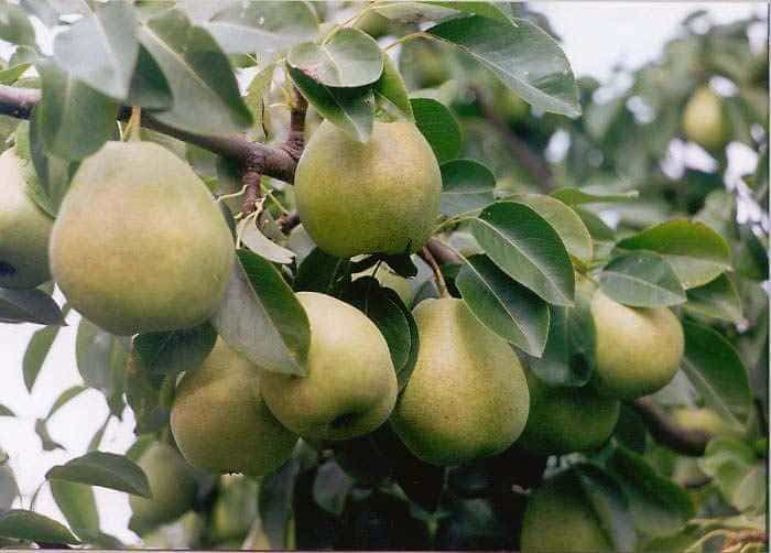 Урожайность достигает 100 кг с одного дерева