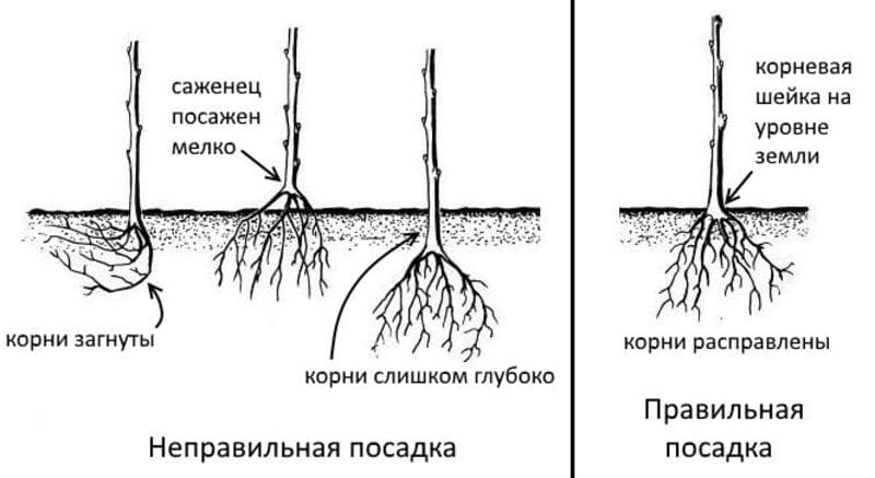 Схема правильной посадки саженца груши Москвичка
