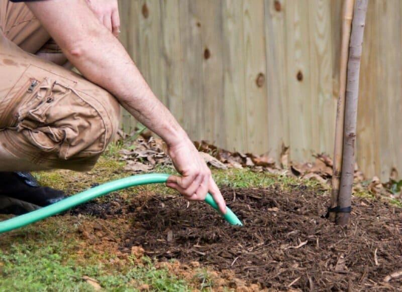 После каждого полива землю необходимо рыхлить и мульчировать