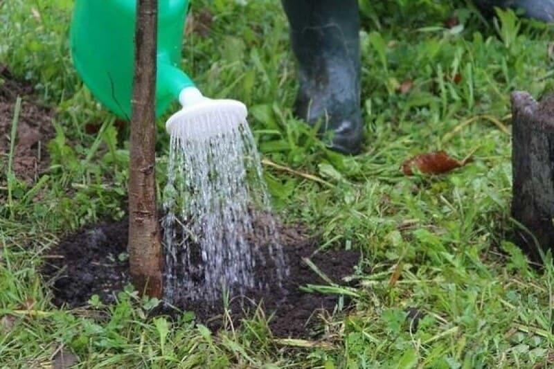 Молодые деревца следует поливать раз в неделю, внося под каждый саженец по ведру воды