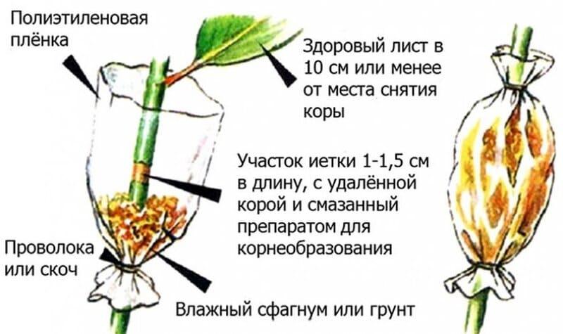 Схема размножения груши Нарядная Ефимова воздушными черенками