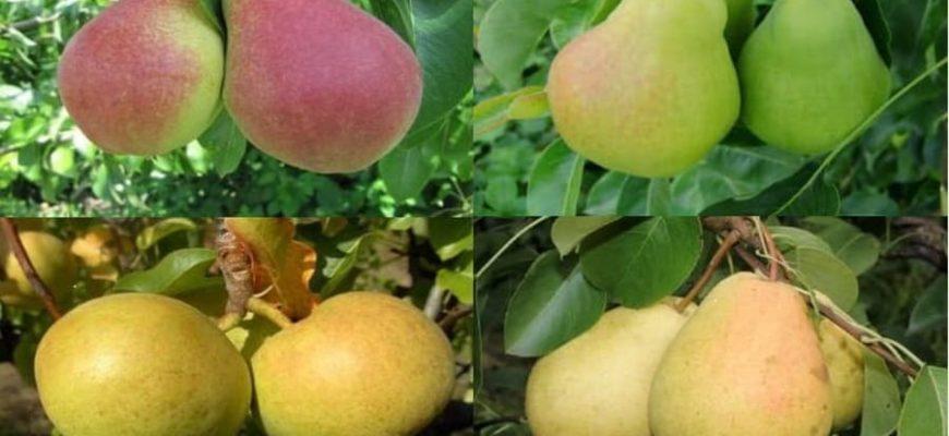 Сорта груш для Ленинградской области