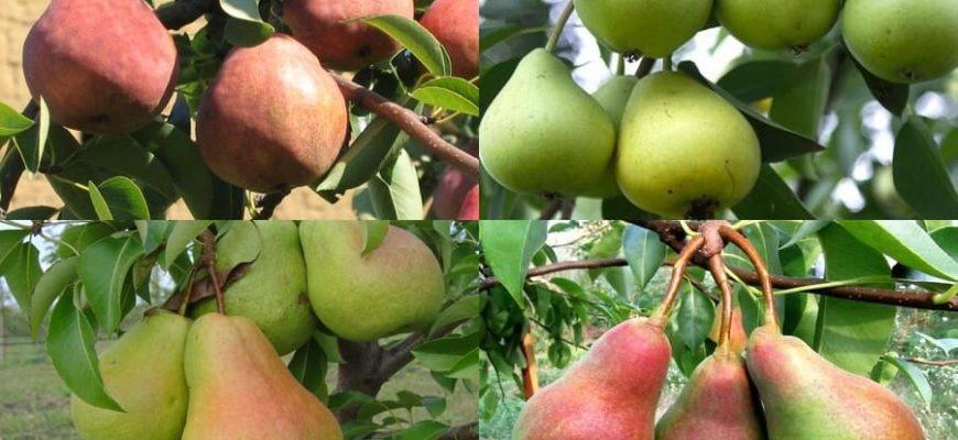 Сорта груш для Ростовской области