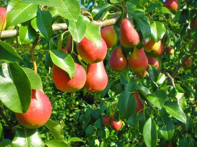Длительность хранения плодов Ники составляет 90-120 суток